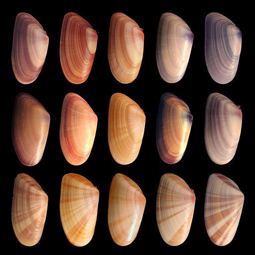 Variabilität innerhalb einer Muschelart (Donax variabilis)