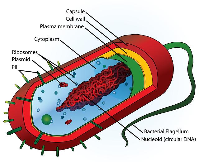 Schema einer Bakterienzelle
